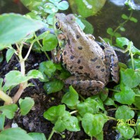 Photo Thumbnail #1: Leopard frog in late spring