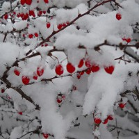 Photo Thumbnail #5: Beautiful berries