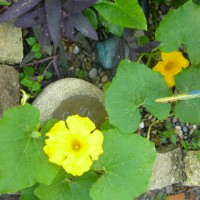 Photo Thumbnail #8: my mom said this a a squash vine, just pop up...