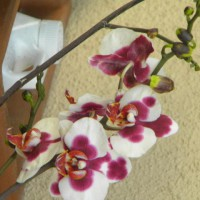 Photo Thumbnail #10: orchid, on esat side of house