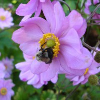Photo Thumbnail #10: Japanese anemone . . .