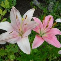 Photo Thumbnail #24: More Asiatic lilies . . .