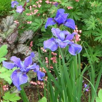 Photo Thumbnail #9: Siberian iris and huechera . . .