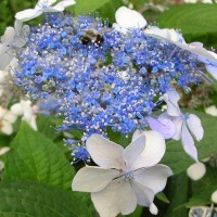 Photo Thumbnail #23: Lacecap hydrangea 'Blue Wave' -- always alive...