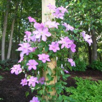 Photo Thumbnail #18:  'Comptesse de Bouchard' clematis . . .
