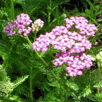 Photo Thumbnail #20: Yarrow . . .