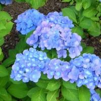 Photo Thumbnail #22: 'Nikko Blue' hydrangea . . .