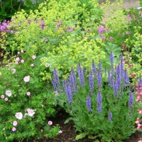 Photo Thumbnail #13: Salvia 'Blue Hills' and lady's mantle . . .