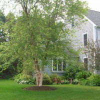 Photo Thumbnail #5: A paper bark birch dominates our front yard . . .
