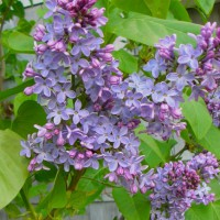Photo Thumbnail #8: 'President Lincoln' lilac . . .