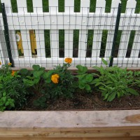 Photo Thumbnail #3: Herbs interplanted with marigolds.  I've heard...