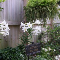 Photo Thumbnail #2: My Easter lilies in bloom.  I bought them in...