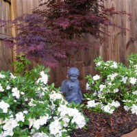 Photo Thumbnail #5: Encore Azaleas and Japanese Maple tree.