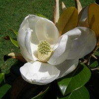 Photo Thumbnail #7: A magnolia blossom from the Teddy Bear Magnolia...