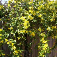 Photo Thumbnail #17: Carolina Jessamine covers the fence between our...