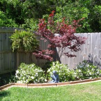 Photo Thumbnail #18: Encore Azaleas and Japanese Maple both 3 years...
