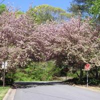 Photo Thumbnail #4: Arch of Cherry Trees