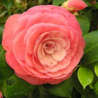 Photo Thumbnail #8: Camelia Bloom