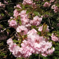 Photo Thumbnail #2: Cherry Blossoms
