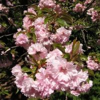 Photo Thumbnail #2: Cherry Blossoms