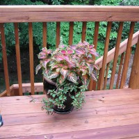 Photo Thumbnail #15: Coleus looks beautiful on the deck