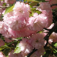 Photo Thumbnail #1: Cherry Blossoms