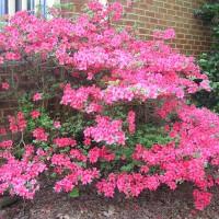 Photo Thumbnail #5: Azalea about to burst into bloom