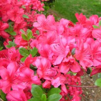Photo Thumbnail #6: Close up of azalea blossoms