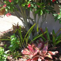 Photo Thumbnail #3: Bromeliads in front.