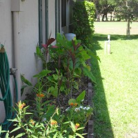 Photo Thumbnail #6: Right side of house - ti plants, alocassias