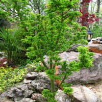 Photo Thumbnail #17: This is a Acer palmatum 'Shishigashira,' Lion's...