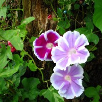 Photo Thumbnail #19: These are a japanese hybrid morning glory...