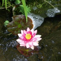 Photo Thumbnail #6: Water Lily blooming