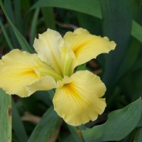 Photo Thumbnail #7: Would love to know the name of this Iris.