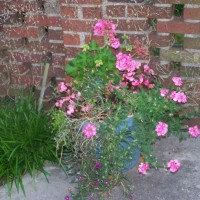 Photo Thumbnail #17: Pink Flower Pot - cant wait for it to mature