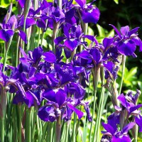 Photo Thumbnail #5: Butterfly Iris were beautiful this year!