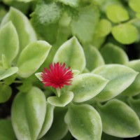 Photo Thumbnail #15: Rock Rose Ice Plant bloom.