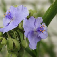 Photo Thumbnail #4: I think that the spiderwort is my favorite...