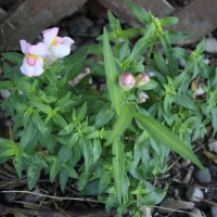 Photo Thumbnail #16: My surprise snapdragon - I didn\'t plant it,...
