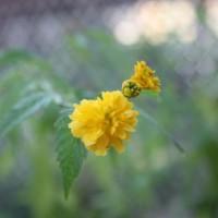 Photo Thumbnail #19: Kerria bloom.