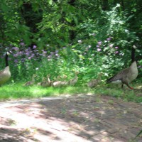 Photo Thumbnail #17: geese headed back to the river