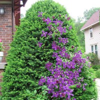 Photo Thumbnail #14: Clematis finally learning to climb the tree.
