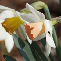 Photo Thumbnail #1: The garden starts blooming in April, with these...