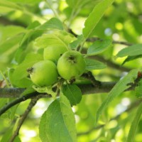 Photo Thumbnail #9: The smaller of the two apple trees.