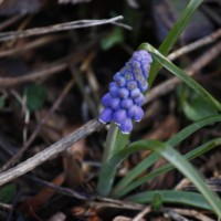Photo Thumbnail #4: Grape hyacinth is the third type of flower that...