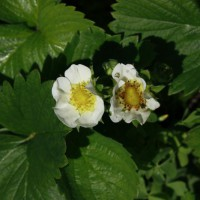 Photo Thumbnail #6: Strawberry flowers.