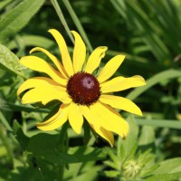 Photo Thumbnail #11: Black-eyed Susan, part of the prarie-scape.