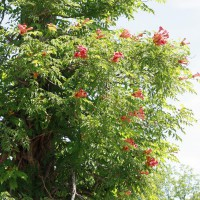 Photo Thumbnail #25: Trumpet Vine, also called Hummingbird Vine,...