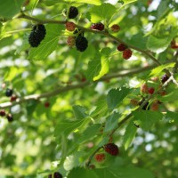 Photo Thumbnail #8: We also have a couple mulberry trees.