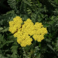 Photo Thumbnail #19: Yarrow in the outdoor classroom.